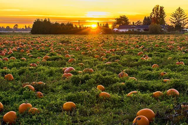 Sun setting over a pumpkin patch